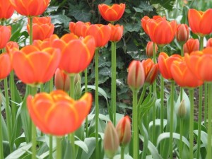 tulips-in-holland-1474018